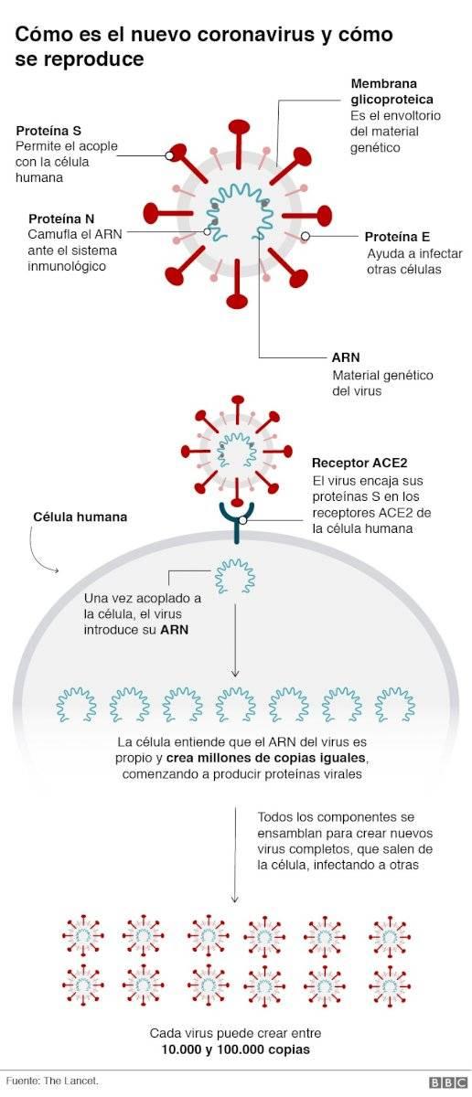 Como se reproduce el coronavirus BBC