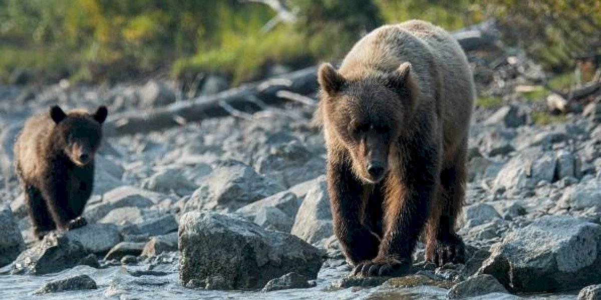 Coronavirus: oso se toma las calles de España durante cuarentena por el COVID-19