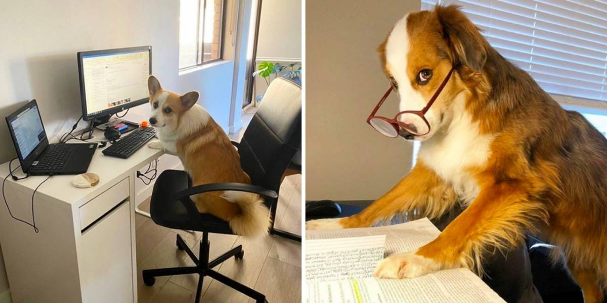 Esta conta no Instagram reúne as melhores fotos de cachorros que acompanham os seus donos durante a quarentena do coronavírus