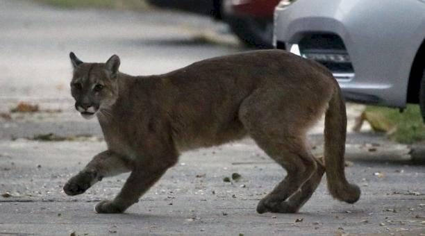 Coronavirus: Un puma salvaje deambuló por las calles desiertas de Santiago de Chile