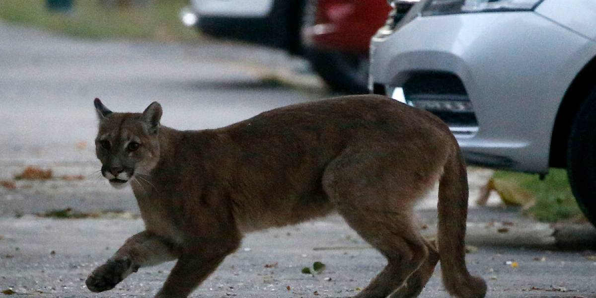 No quiso respetar el toque de queda: SAG captura a puma que generó alerta entre vecinos de Ñuñoa