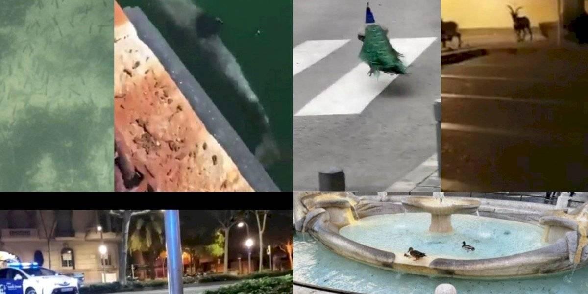 VIDEOS: Animales salvajes se toman las calles vacías por cuarentena de humanos