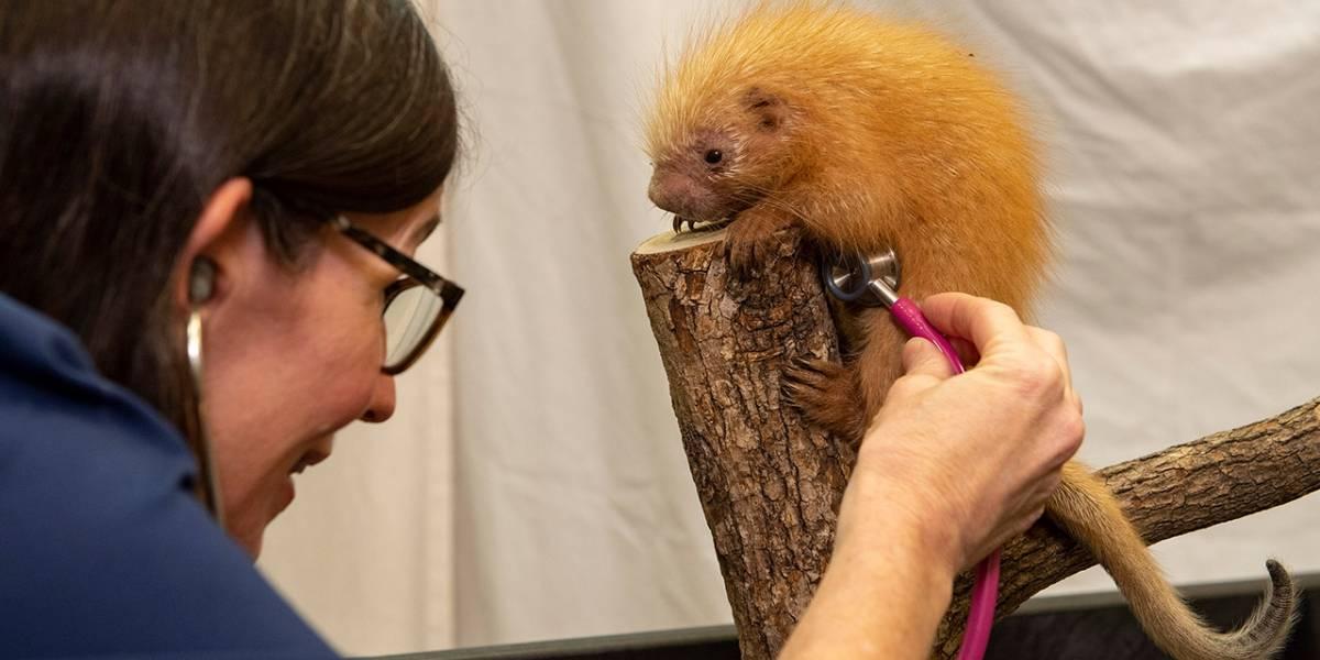 Animal Kingdom le da la bienvenida a una bebé puercoespín