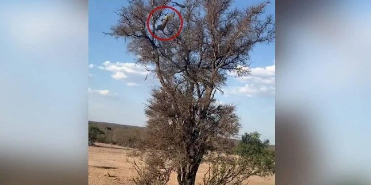 Vídeo impressionante de leopardo caçando macaco em árvore se torna viral nas redes sociais