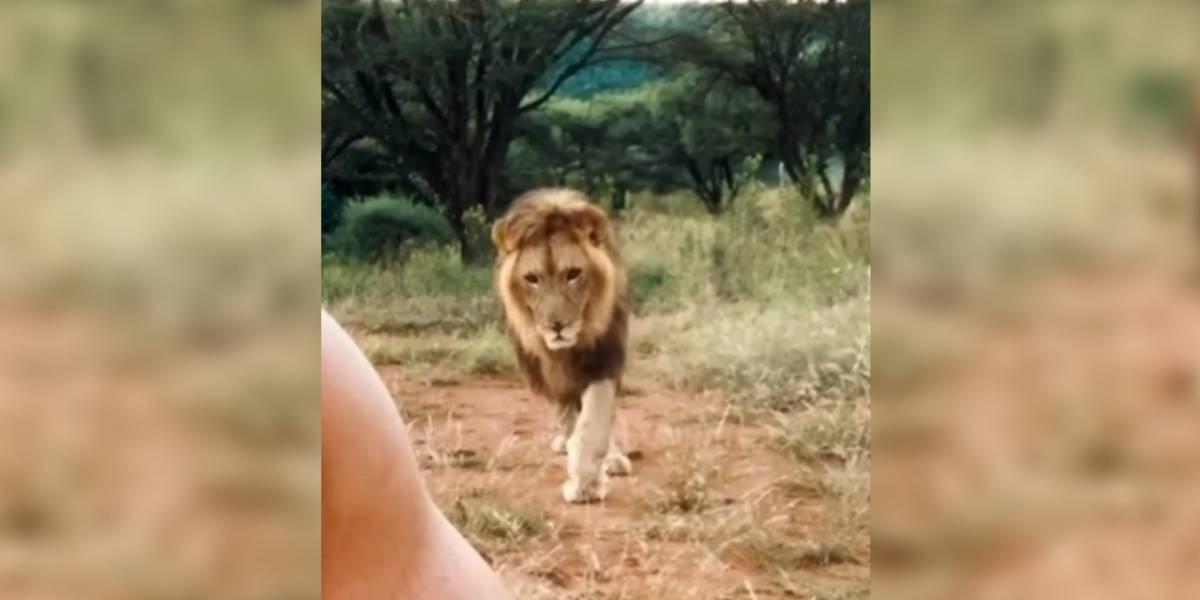 Cuidador flagra leão preparando ataque minucioso e vídeo faz sucesso no Instagram