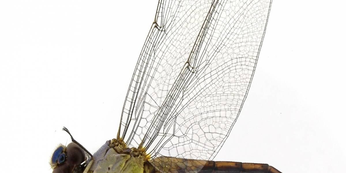 Duas novas espécies de libélula são encontradas em parque estadual de MG
