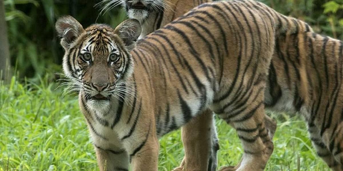Coronavirus: tigre de zoológico en Nueva York se contagia de Covid-19