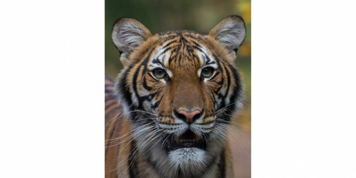 Tigresa de zoológico neoyorquino da positivo por COVID-19