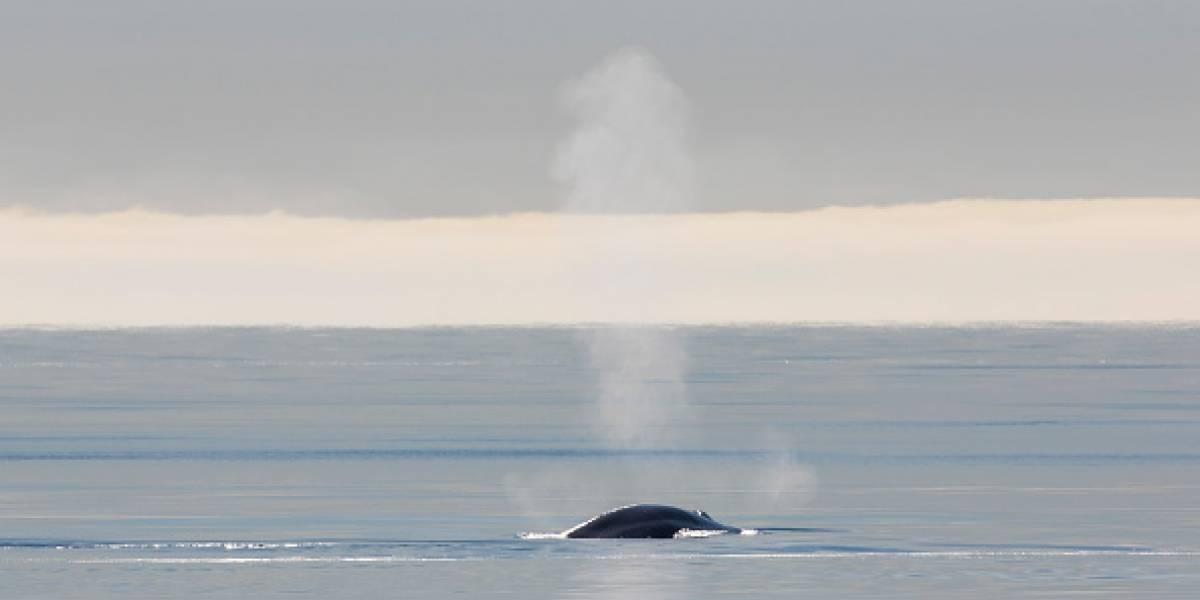Em uma cena muito rara, impressionante registro mostra duas baleias gigantescas na costa da França