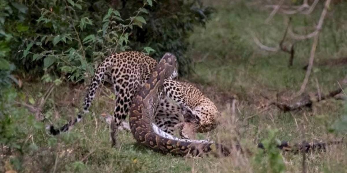 Vídeo que mostra luta intensa entre leopardo e píton por sobrevivência faz sucesso nas redes sociais