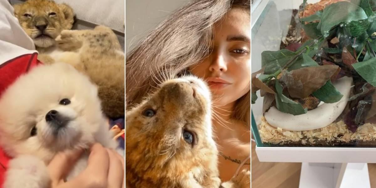 Modelo que criava filhote de leão e píton em casa é detida