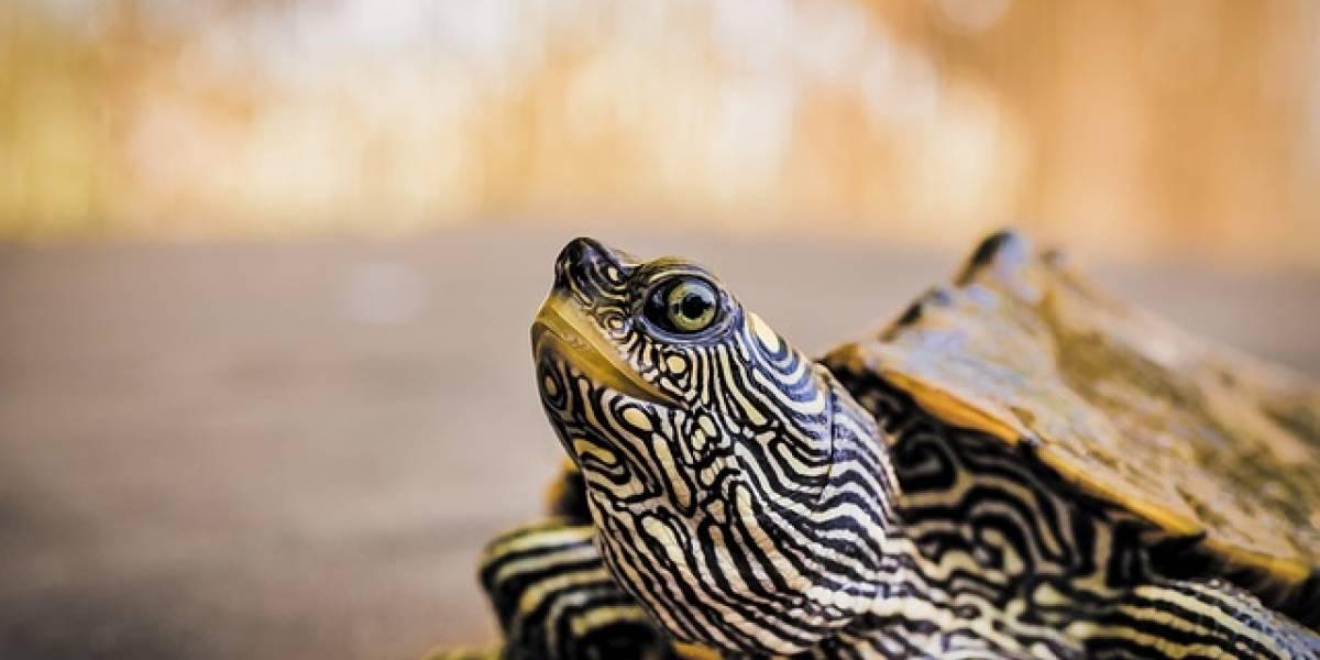 Multan a una mujer por pasear a su tortuga durante el confinamiento en Italia