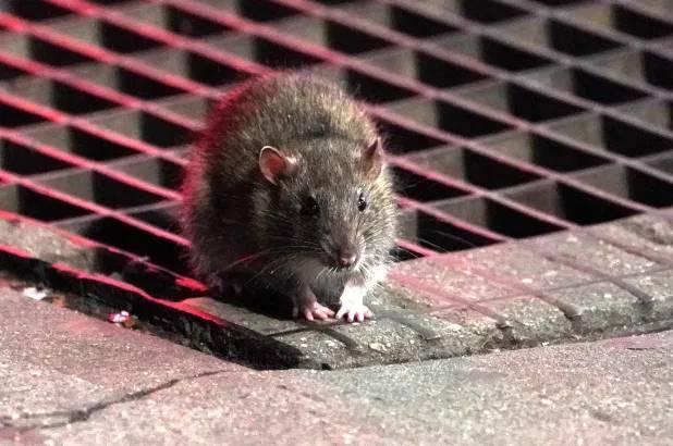 Coronavirus ratas
