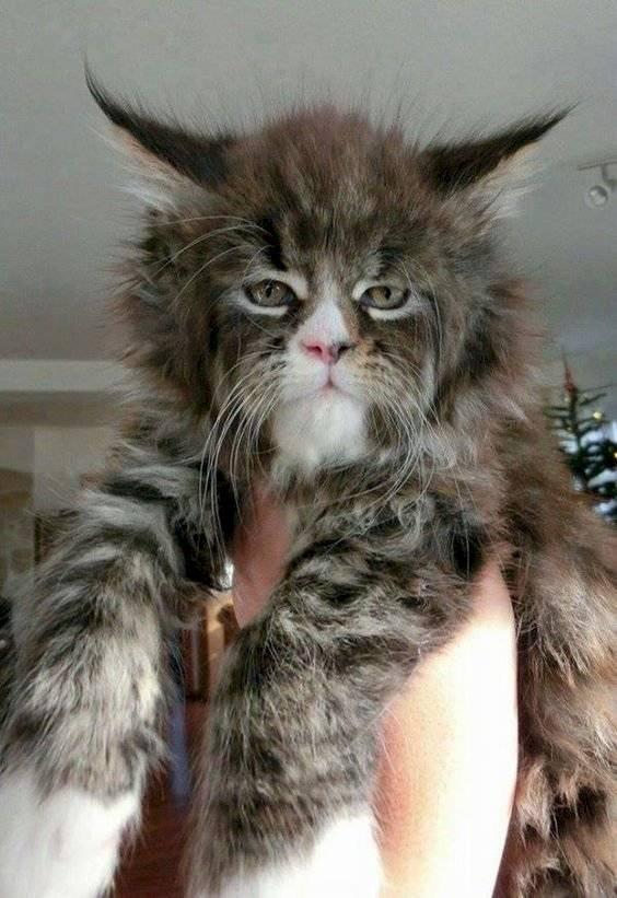 gato humano 1