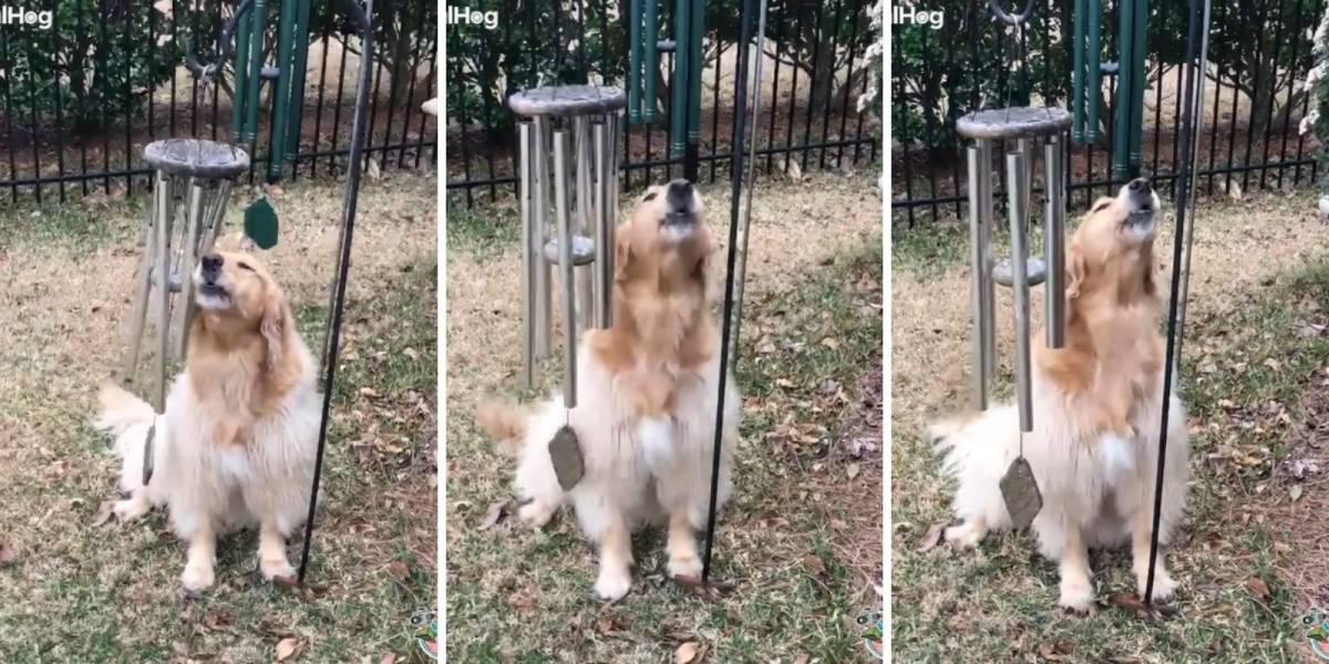 VÍDEO: Cachorro paga de cantor e conquista fãs nas redes sociais