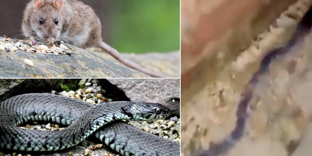 Cobra ou rato? Vídeo que mostra estratégia de família de animais faz sucesso nas redes sociais