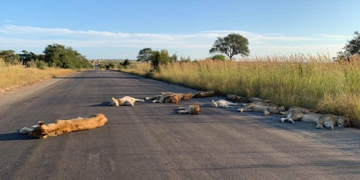 Así se vive el coronavirus en Sudáfrica: las inusuales imágenes de leones durmiendo en las carreteras