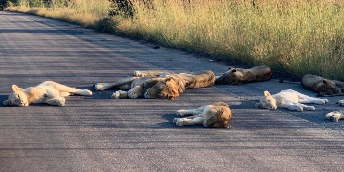 Leones duermen en carretera de Sudáfrica; los humanos no están (fotos)
