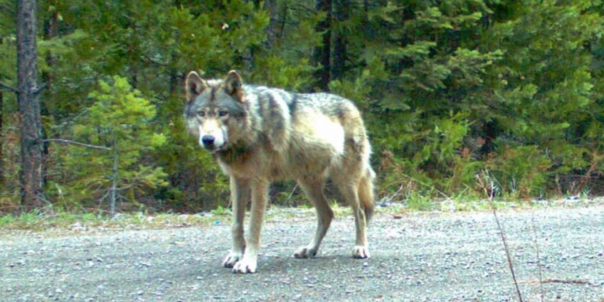 Por primera vez en más de un siglo, avistan un lobo gris que se consideraba extinto
