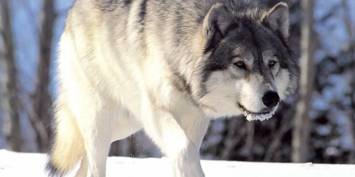 Cuarentena: un lobo gris, especie que se creía extinta, apareció en Francia