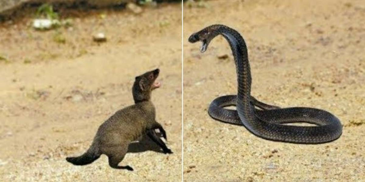 Vídeo que mostra luta intensa por sobrevivência entre cobra e mangusto se torna viral no Twitter