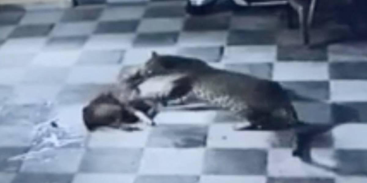 Aterrador momento en que perrito defiende su casa del ataque de un leopardo