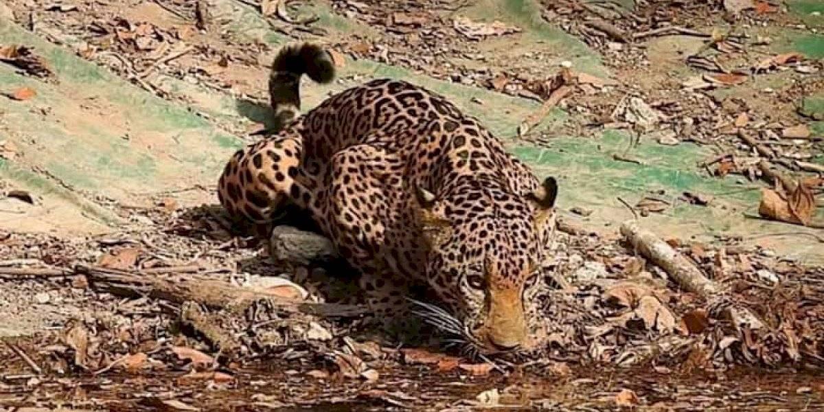 VIDEO. Covid-19 ha permitido extraordinarias imágenes de animales en Petén