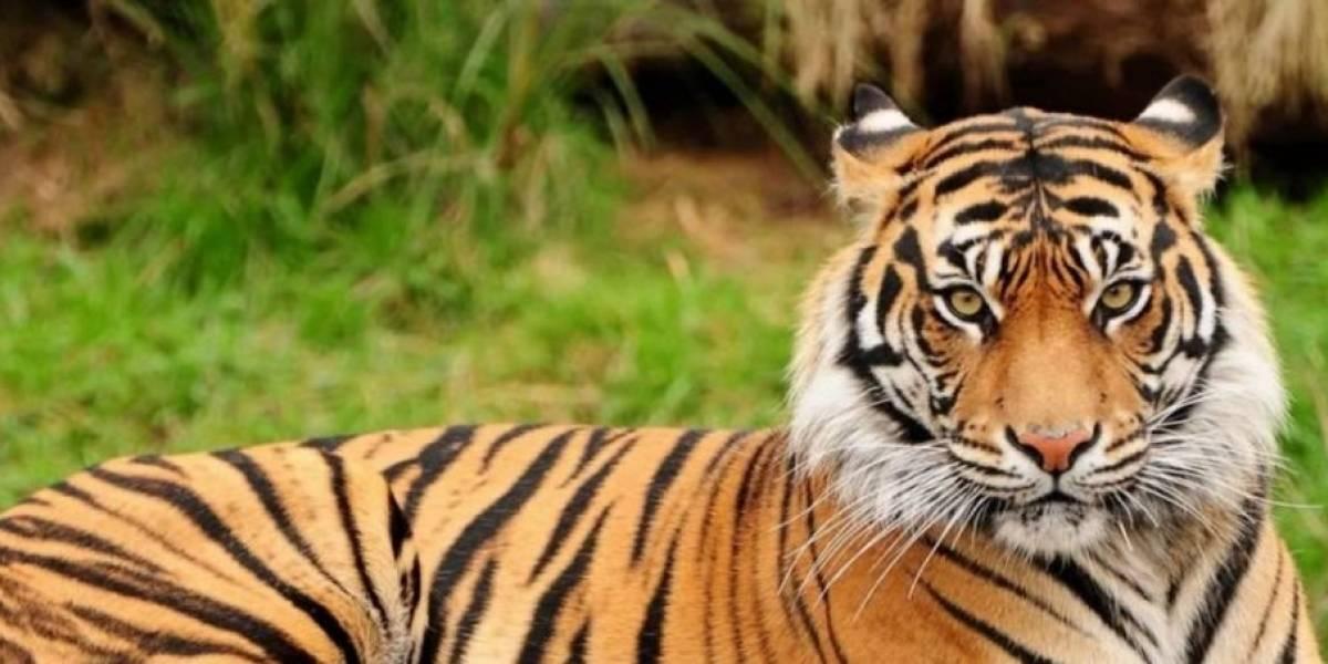 Vídeo de tigresa que deu à luz a três filhotes faz sucesso nas redes sociais