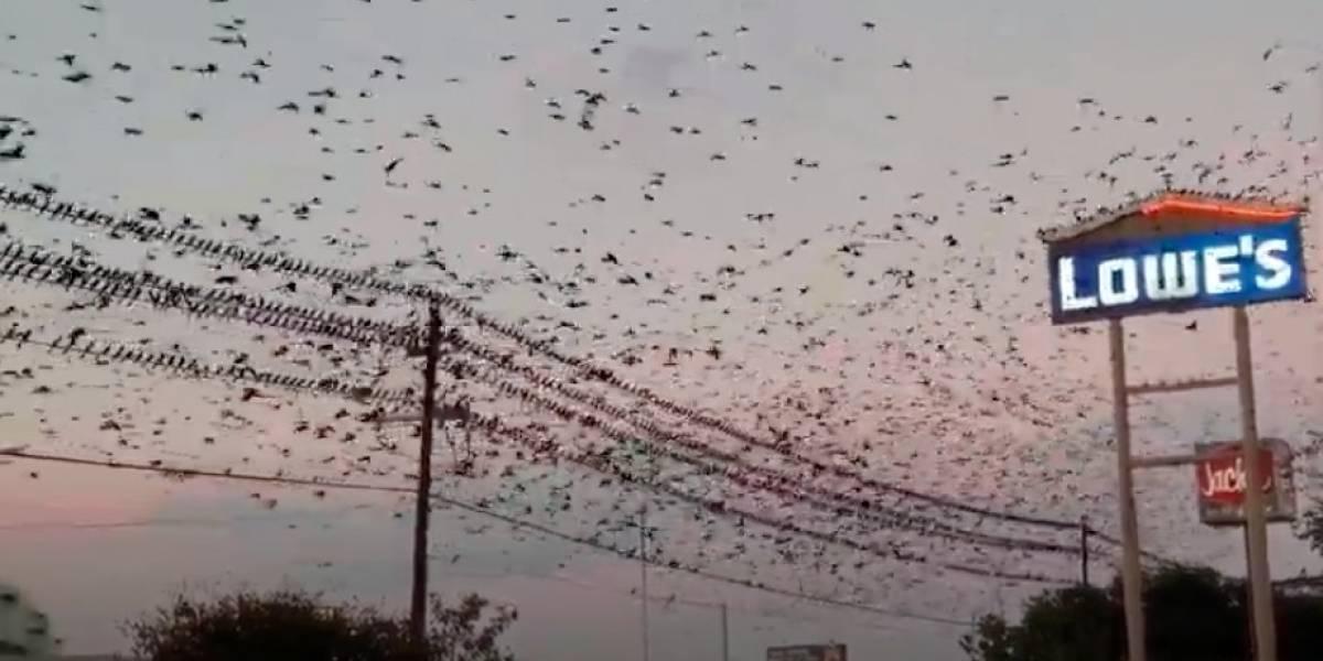 Vídeo de voo em massa de pássaros nos EUA impressiona internautas e viraliza