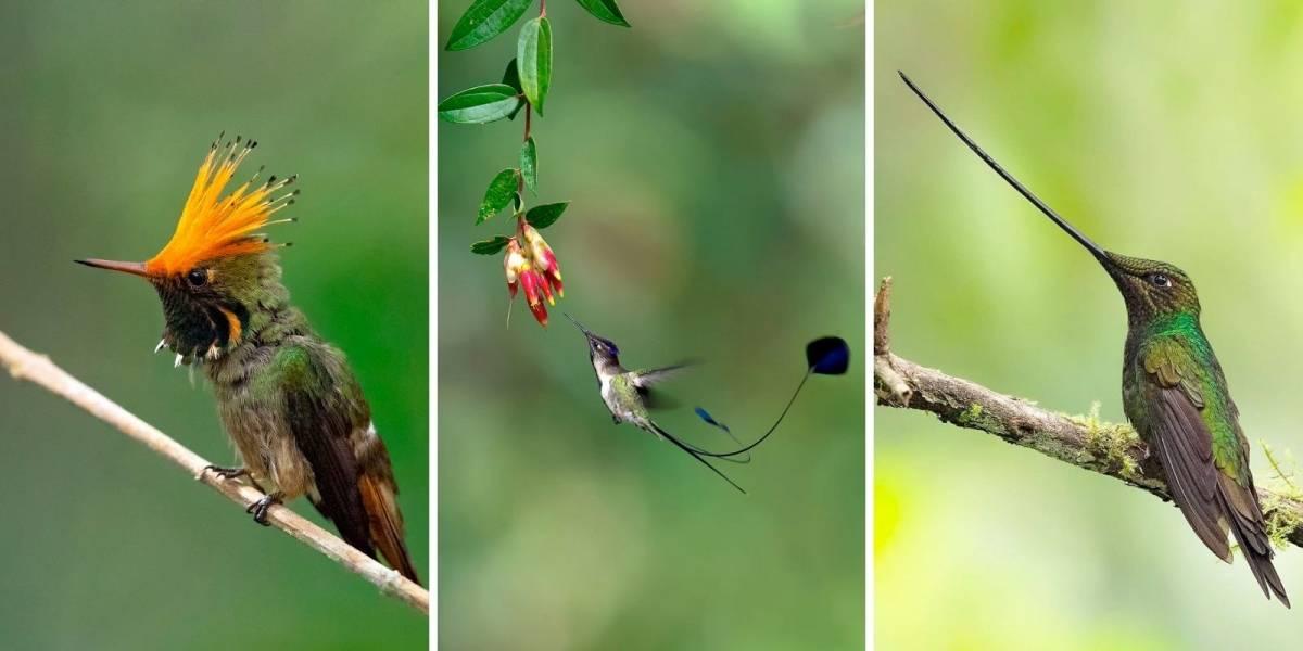 Fotógrafo registra imagens de pássaros exóticos no Peru; veja 10 fotos impressionantes