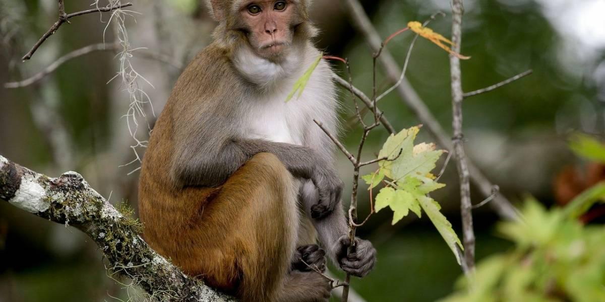 ¿A lo planeta de los simios?: agrandan cerebro de primates usando células humanas