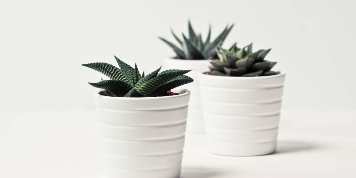 Suculentas: como saber se suas plantas estão sofrendo com excesso ou falta de água