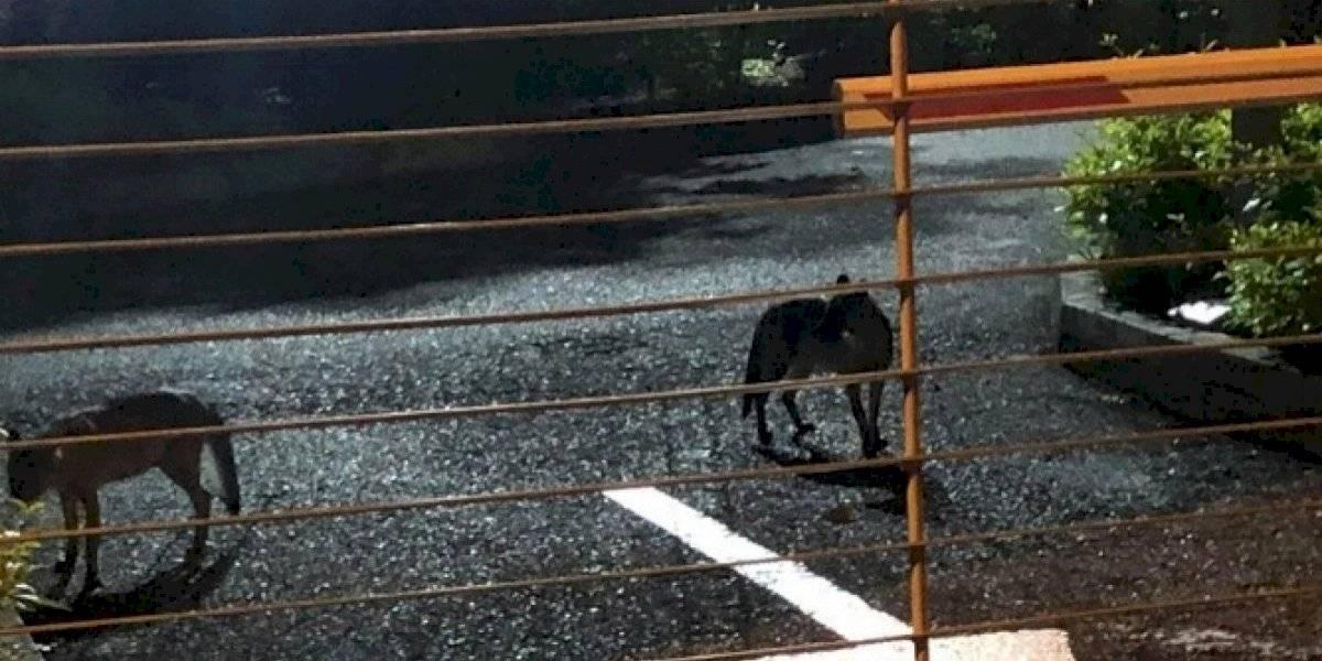 VIDEO: Por cuarentena aparecen zorros caminando en las calles