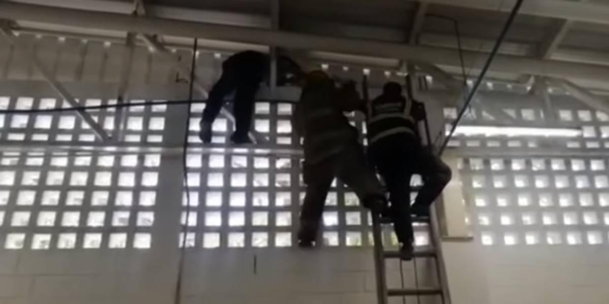 Trabajadores regresaron del aislamiento y encontraron enorme animal en su empresa