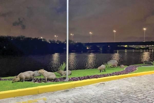 Capivaras, rio Capibaribe
