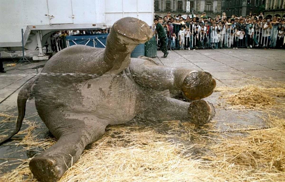 En el Zócalo capitalino hubo un evento circense. En la imagen se aprecia a un elefante tomando un baño antes del show