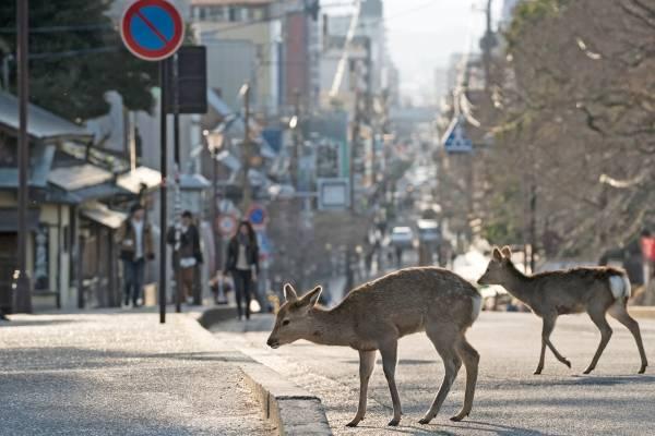 Cervos shika, Nara (Japão)