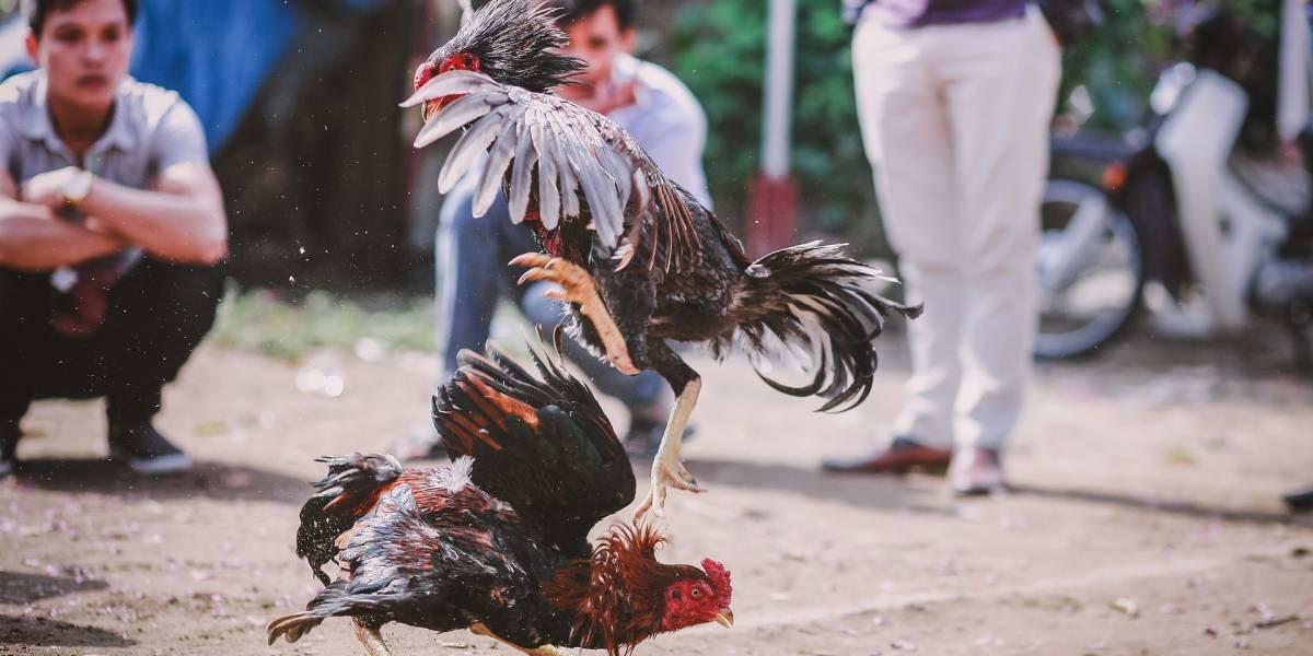 Polémica en Colombia por respaldo de congresista a pelea de gallos