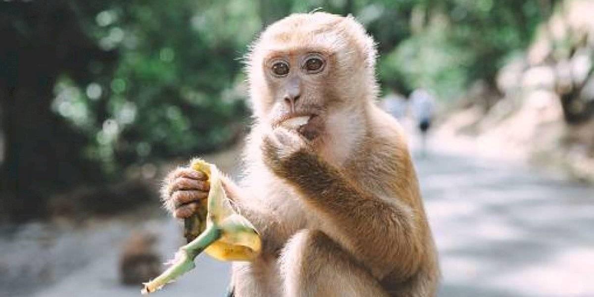 Monos le robaron a funcionario médico muestras de sangre con coronavirus
