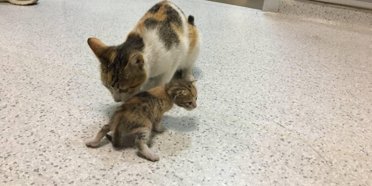 Gatita desesperada acudió a un hospital para que salven a su bebé