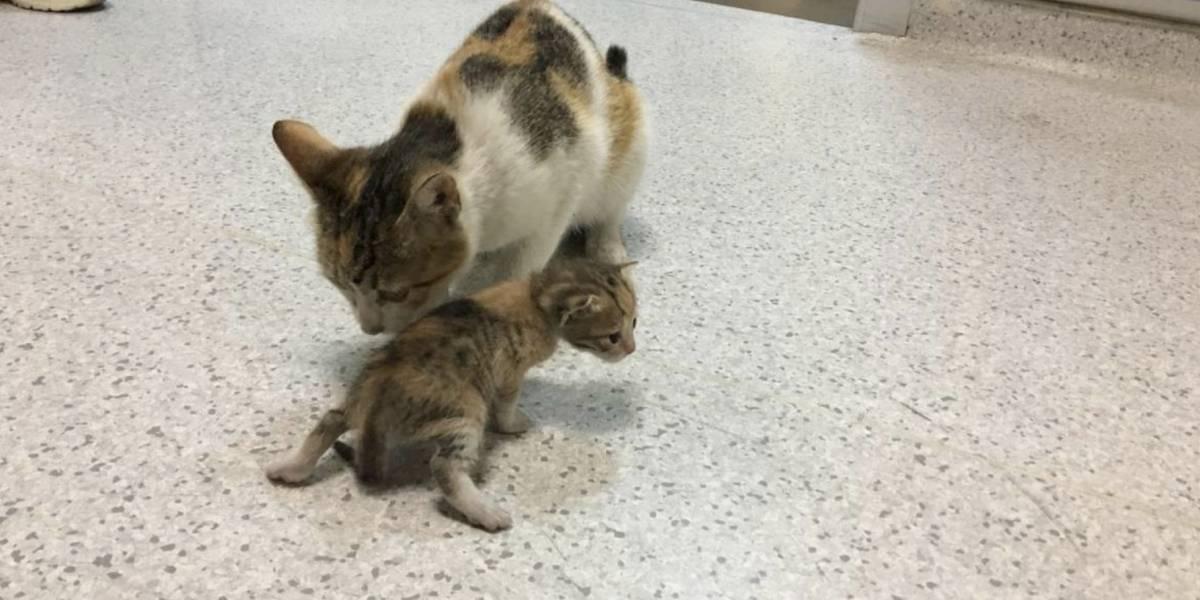 Gatita desesperada acudió a hospital para le salvaran a su bebé
