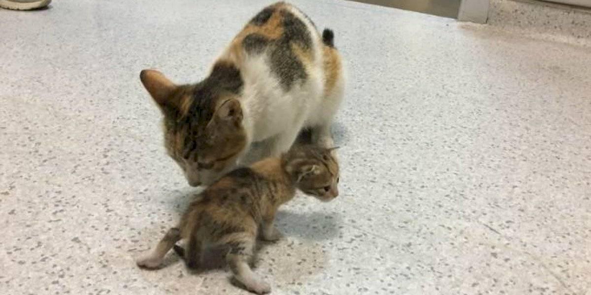 Gata llega con su cría enferma al hospital y es atendida por los trabajadores de la salud