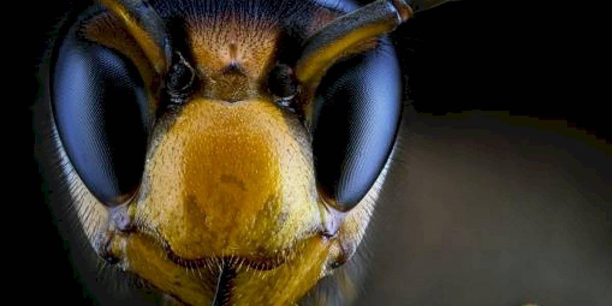 Insecto letal llegó a Estados Unidos y pone en peligro a las abejas