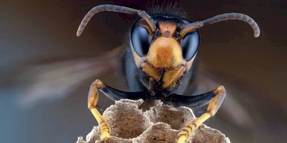 """Alerta en EEUU tras hallazgo de """"avispones asesinos"""": pueden acabar con colonias de abejas en pocas horas"""