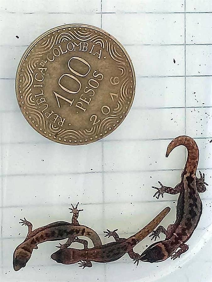 Aparece en Colombia el lagarto más pequeño del mundo que era considerado extinto