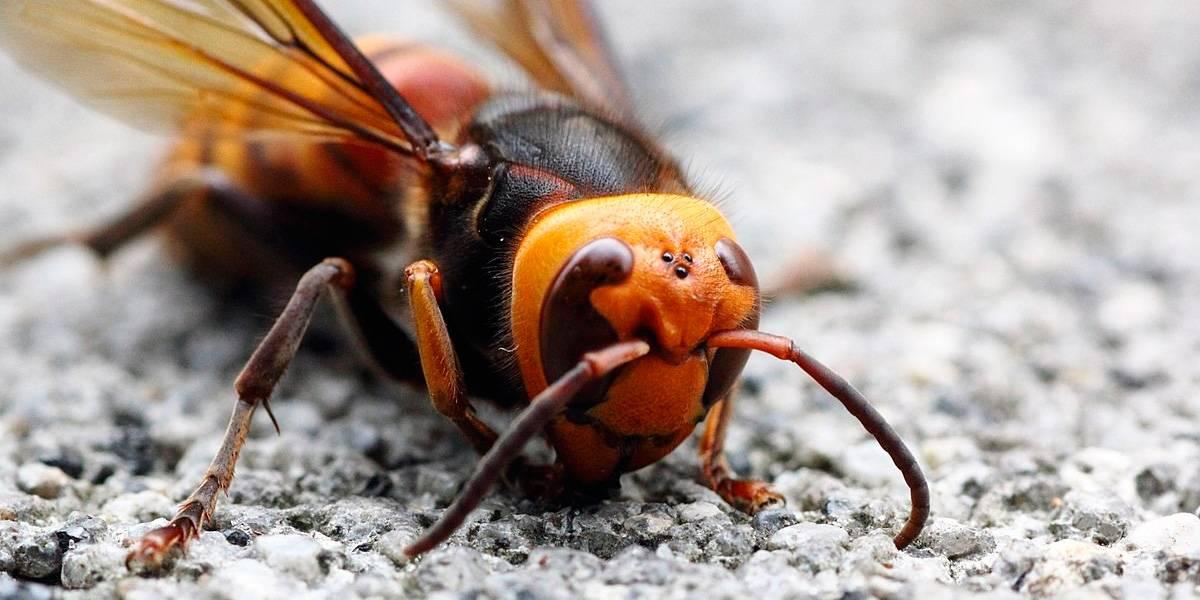 Avispón Asesino: el nuevo y peligroso insecto mortal que llega a América
