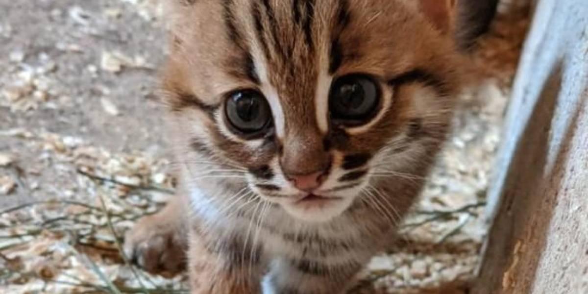 Nascem dois filhotes da menor raça de gato selvagem do mundo e fotos fazem sucesso nas redes sociais