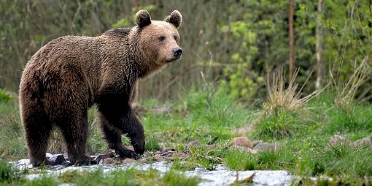 Por primera vez en 150 años: avistan a un oso pardo en el norte de España