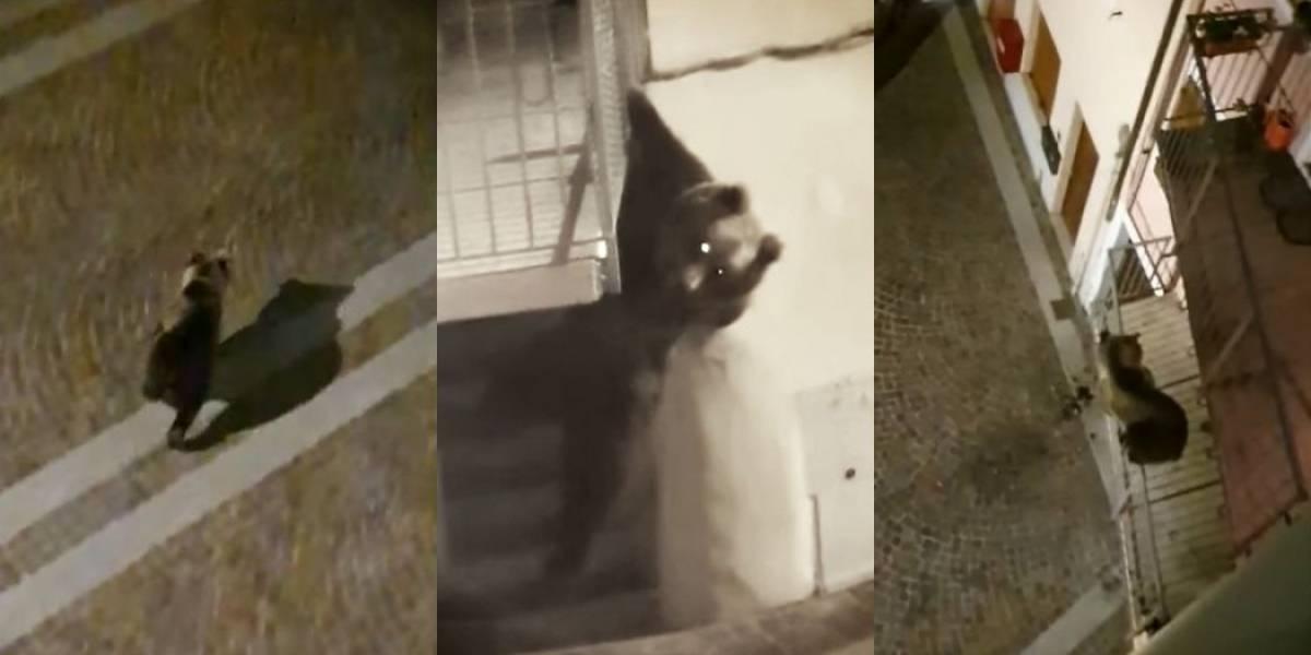 Vídeo: Urso tenta escalar prédio na Itália durante quarentena