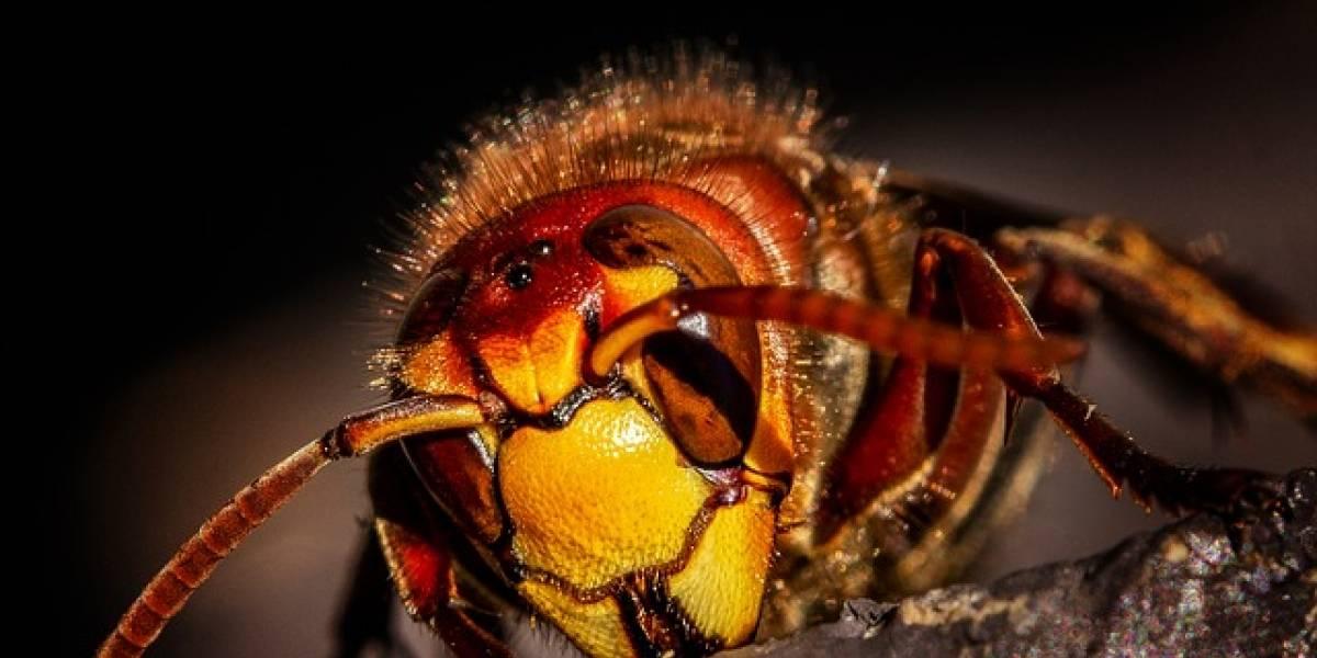 Colmena de abejas mata a una avispa asesina tras ataque